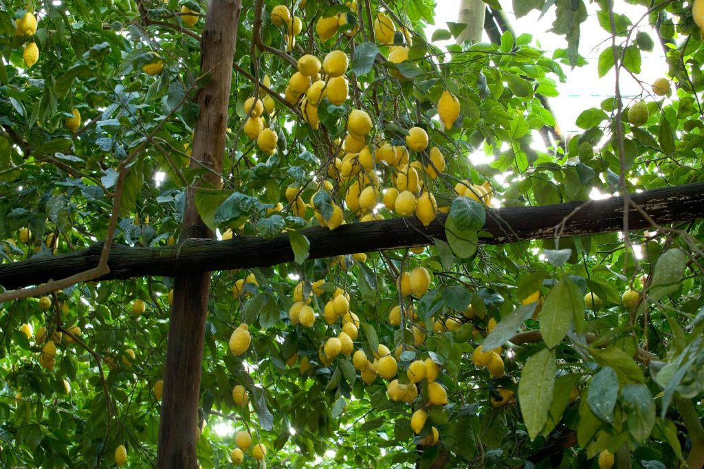 Lemons of the Amalfi Coast
